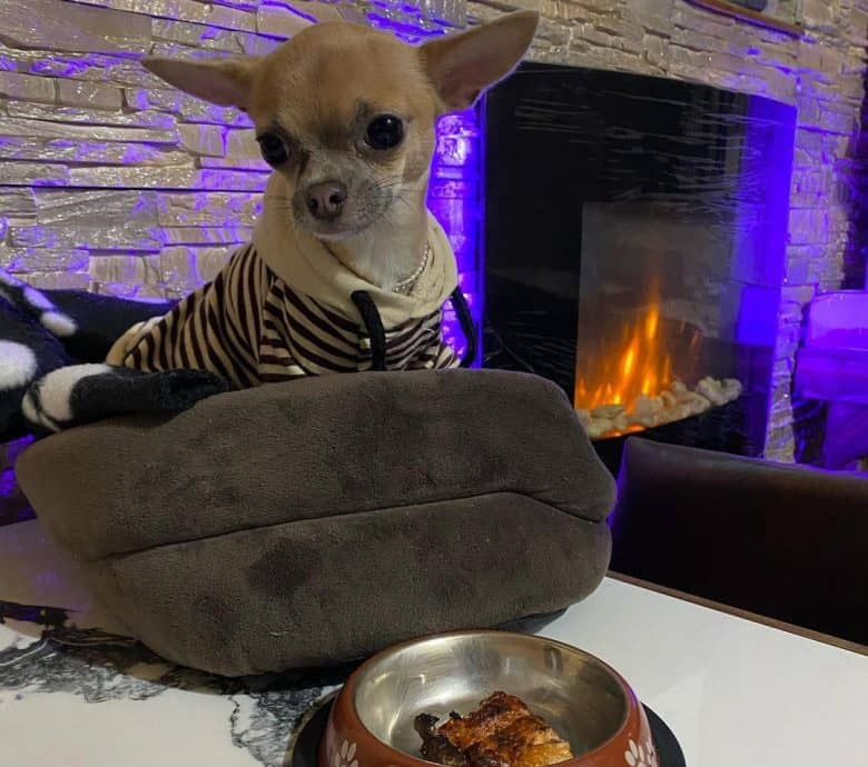 Chihuahua having a delicious salmon meal