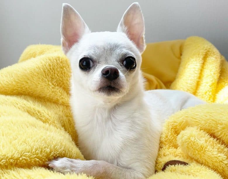 Chihuahua dog in his comfy bed