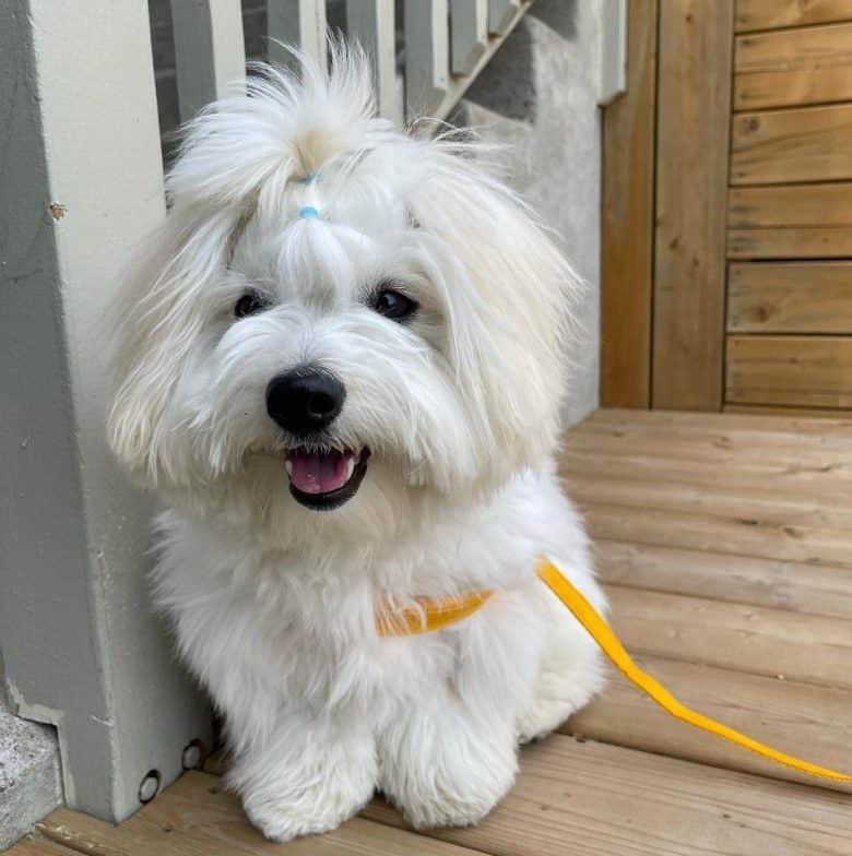 Coton De Tulear dog ready for a walk