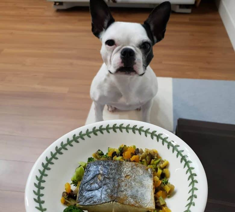 French Bulldog excited for the grilled mackerel with veggies