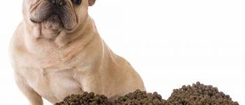 French Bulldog ignoring the kibbles meal