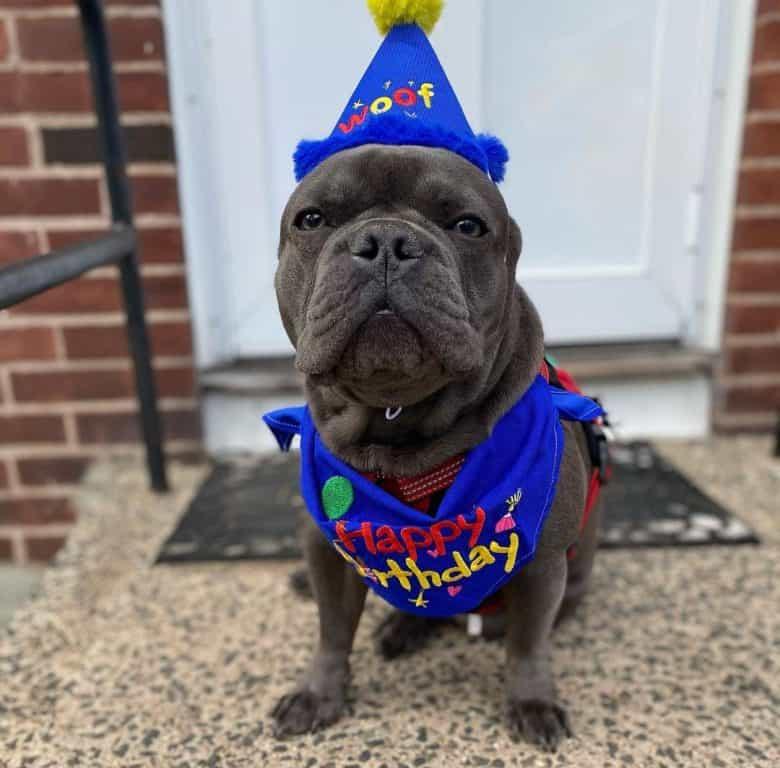 French Bulldog wearing birthday costume