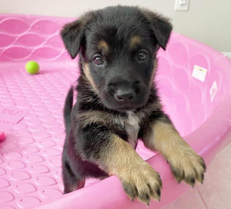 German shepherd puppy inside the crib