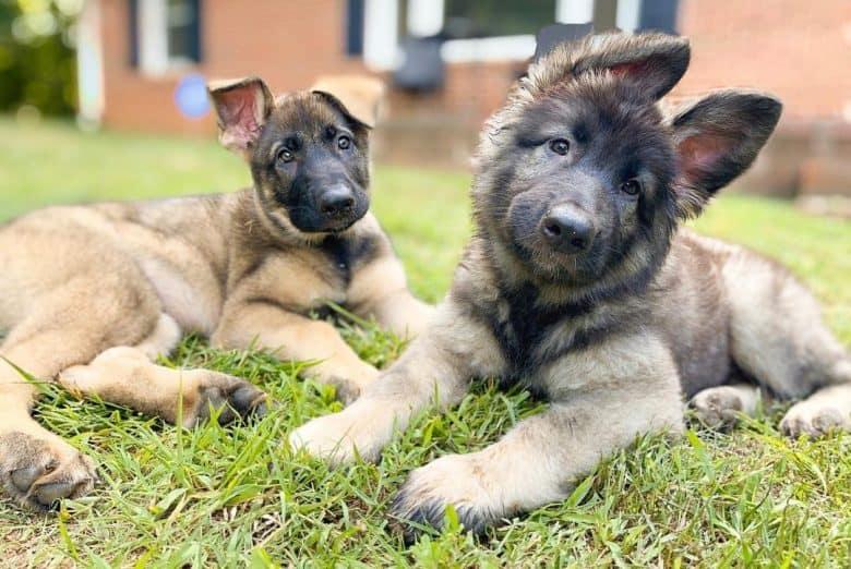 German Shepherd sisters