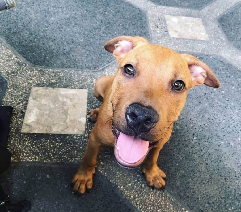 Happy American Pitbull Terrier looking up