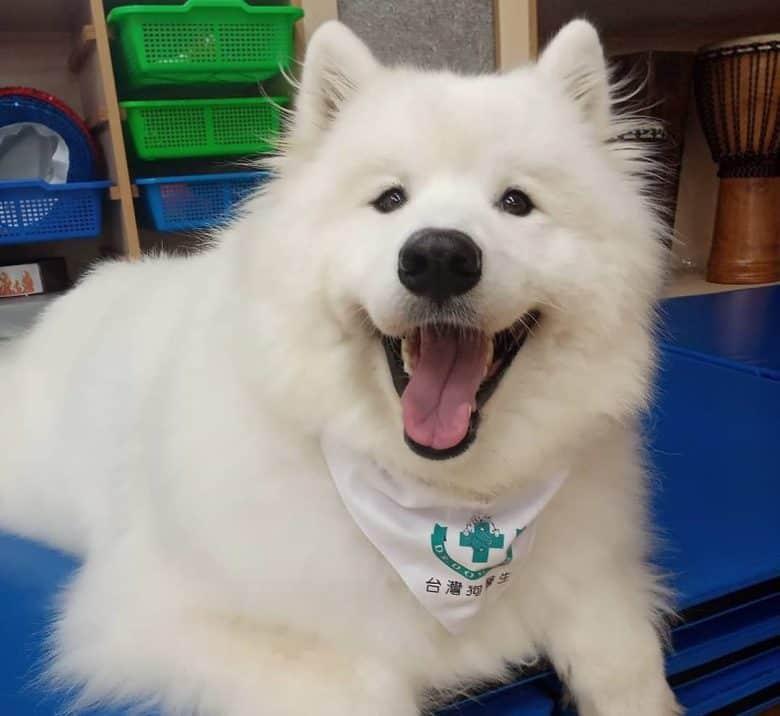 Happy Samoyed dog wearing bandana
