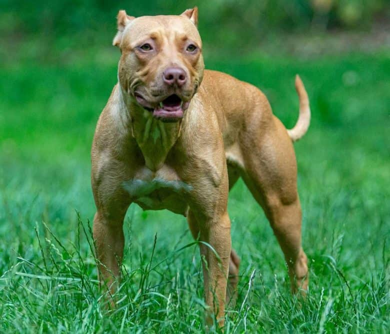 Muscular American Pit Bull Terrier dog