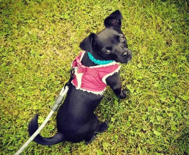 Patterdale Terrier dog in a walk