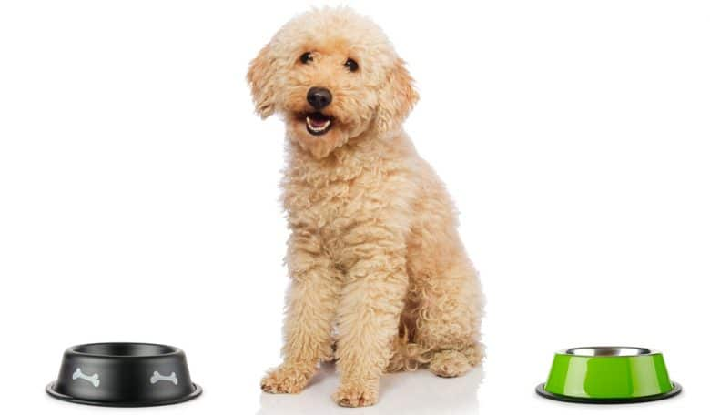 Poodle with food and water bowl