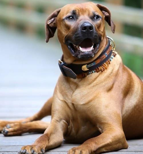 Rhodesian Ridgeback dog looking afar