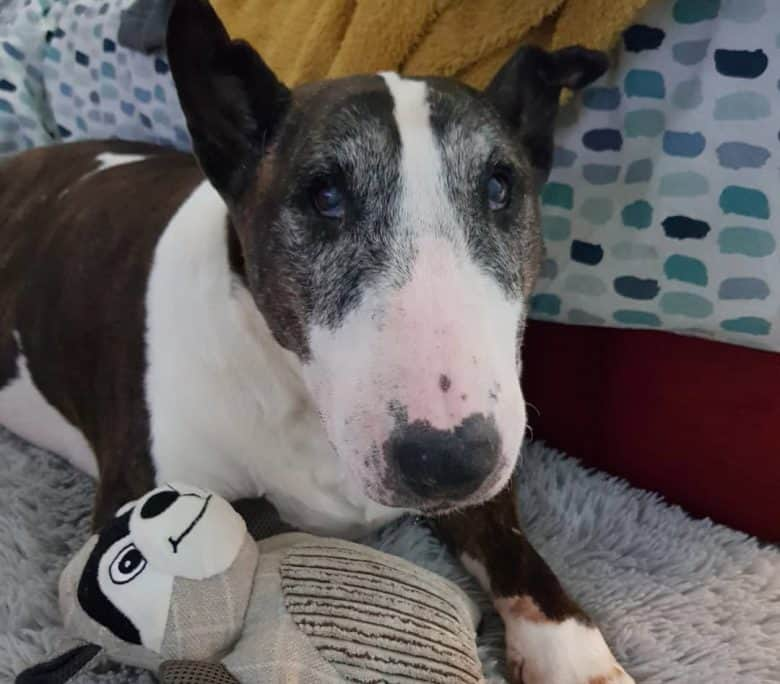 Senior English Bull Terrier playing a toy