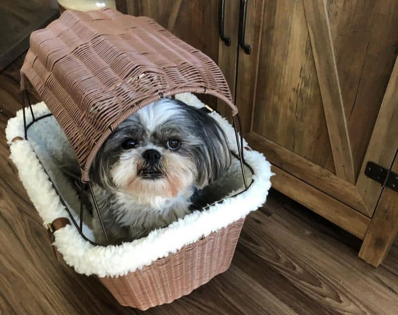 Senior Shih tzu inside the traveling basket
