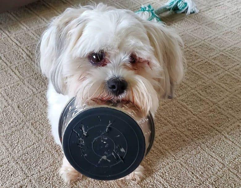 Shih tzu dog bringing the food bowl asking for food