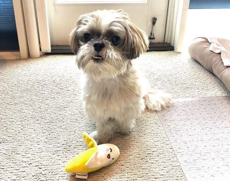 Shih tzu dog guarding his banana toy