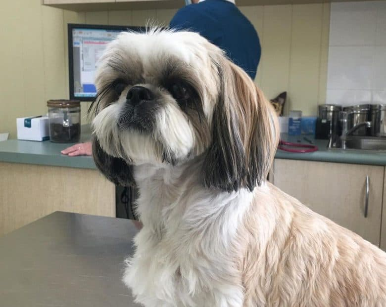 A Shih tzu in the veterinary clinic for checkup