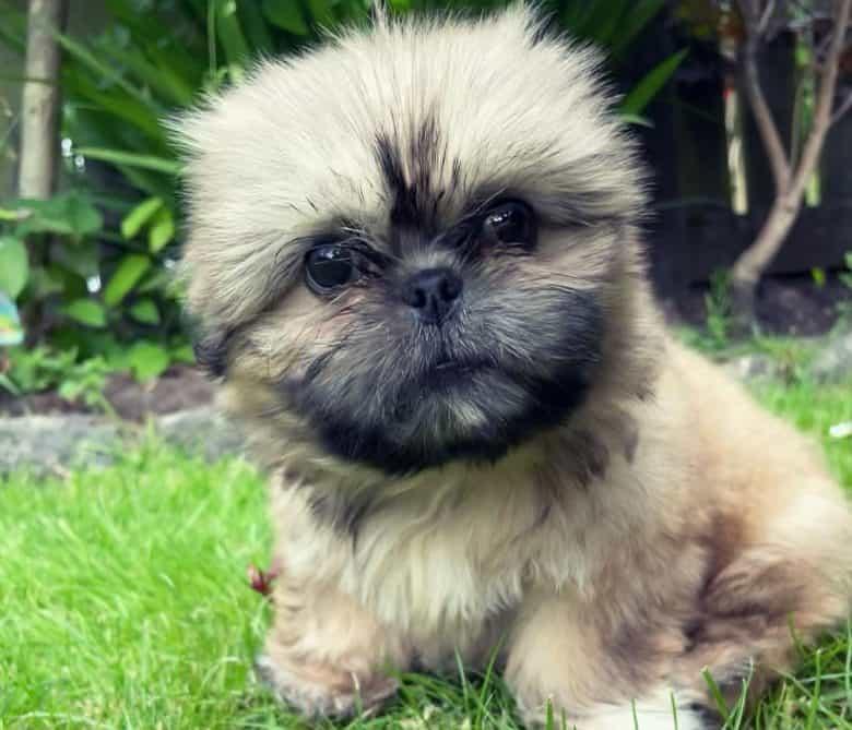 Shih tzu puppy sitting on the grass