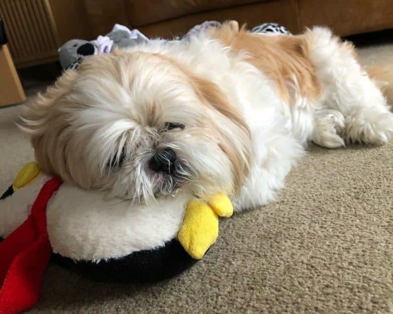 Sick Shih tzu dog sleeping