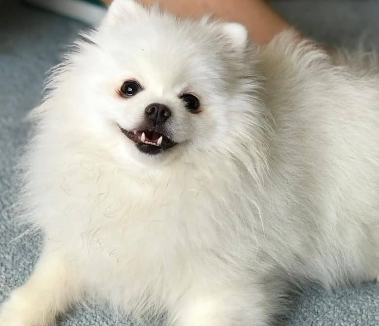 Smiling Pomeranian dog laying down on the carpet