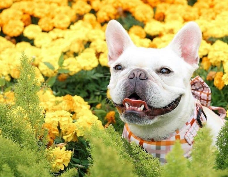 Stunning French Bulldog in a beautiful flowers