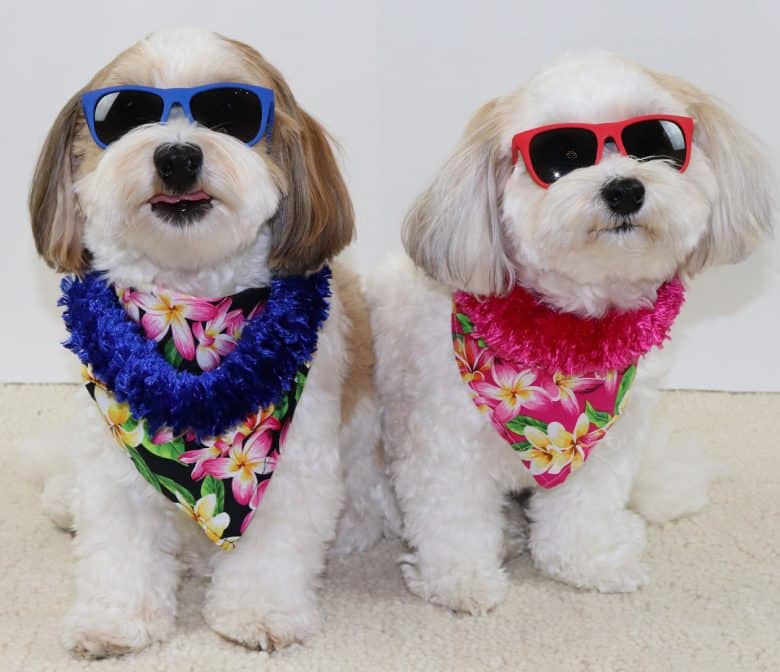Two adorable dogs wearing Hawaiian outfit