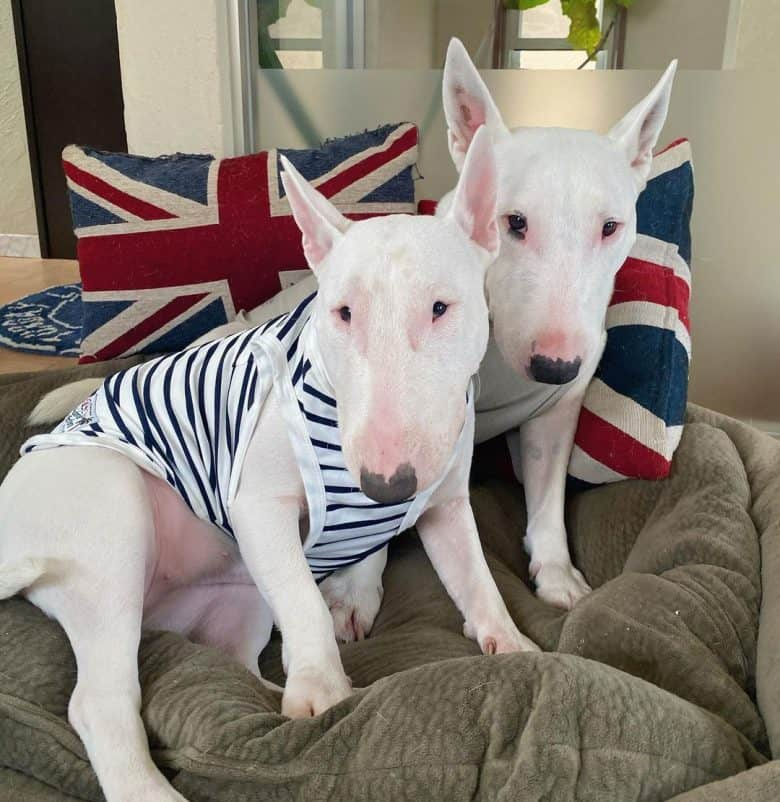 Two Miniature Bull Terriers
