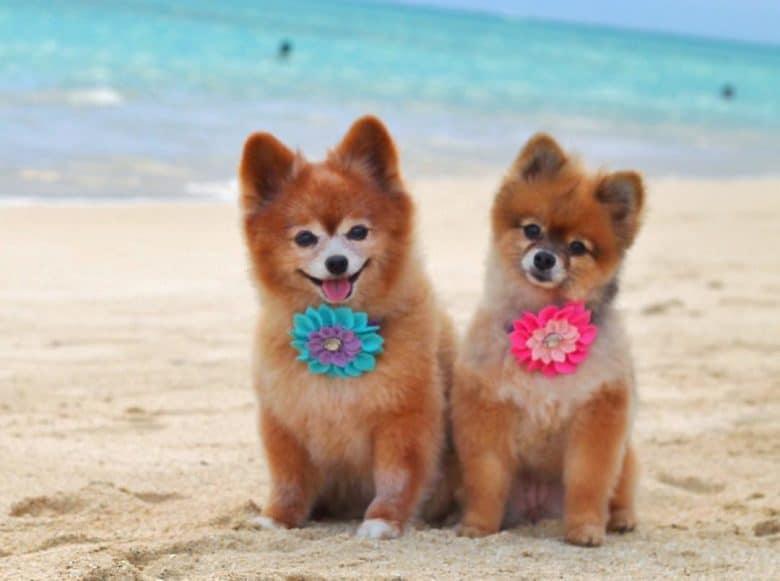 Two Pomeranians wearing lovely flower colar