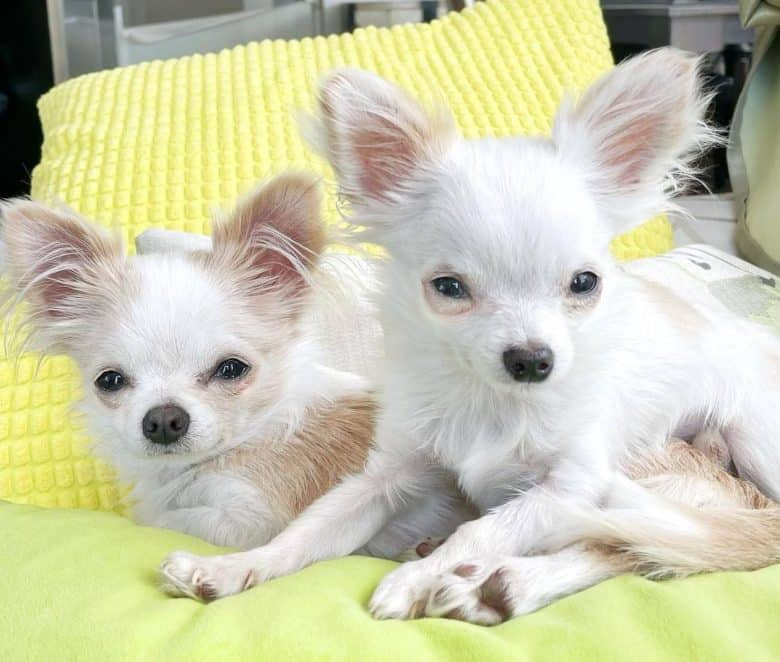 Two white Chihuahua lying on their bed