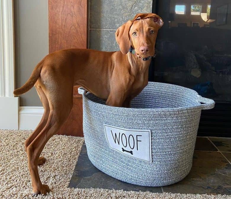 Vizsla with her carrying bag