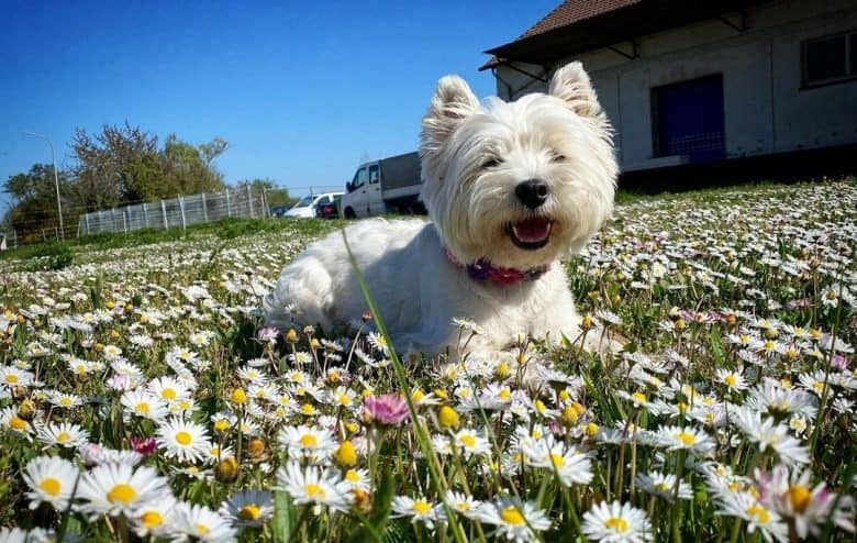 West Highland White Terrier laying down in the middle of the flower garden