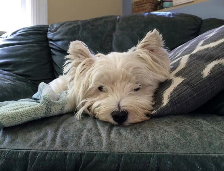 Sick West Highland White Terrier sleeping