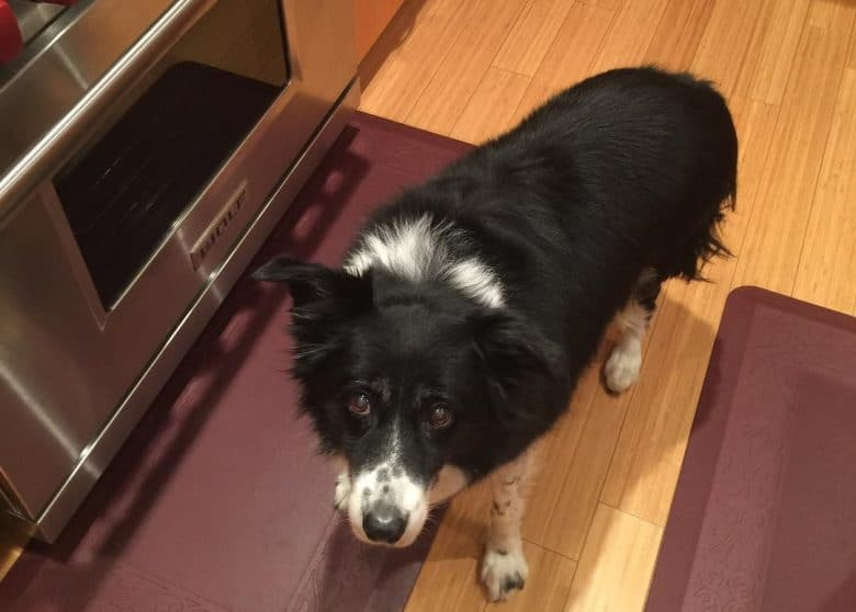 Hungry Border Collie asking for food